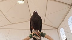 Harris hawk in tent on perch looking at camera low angle Stock Footage
