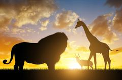 Lion with Giraffe and Antelope at sunset Stock Photos