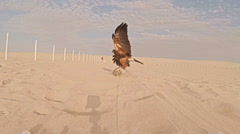 Pair of falconers training Harris hawk with lure in the desert Stock Footage