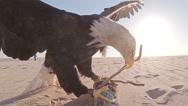 Side closeup of American bald eagle landing on lure on desert dune Stock Footage