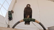 Young eagle on perch in tent enclosure looking down on camera Stock Footage