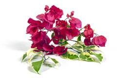 Stem of Dark Pink Bougainvillea Flowers with Variegated Leaves Stock Photos