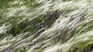 Feather Grass And Wind Stock Footage
