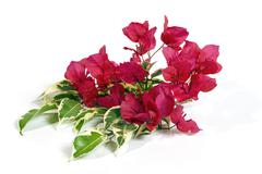 Bright Pink Bougainvillea Flowers with Variegated Leaves Stock Photos