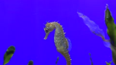 Portrait of single seahorse swimming alone in blue water, wandering sweet animal Stock Footage