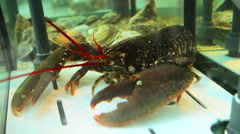 Lobster in the aquarium of seafood restaurant Stock Footage