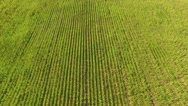 Farmland with sunflower. Aerial view Stock Footage