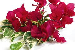 Close up  Pink Bougainvillea Flowers with Variegated Leaves Stock Photos