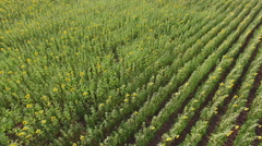 Aerial view of fields sunflower Stock Footage