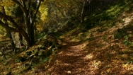 Forest Walk in Autumn with  a Steady Cam Stock Footage
