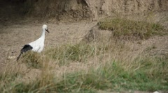 Young white Stork Stock Footage