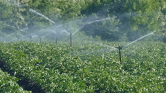 Potato field with watering sytem Stock Footage
