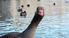 Funny goose staring at the camera and finally sizzling, showing it's tongue Stock Footage
