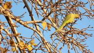 Animal Bird parrot psittacula krameri on a Perch Stock Footage