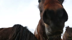 Icelandic horses eating hay Stock Footage