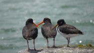Oyster Catchers, sea birds sitting on a jetty Stock Footage