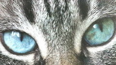 Closeup of blue eyes of a cat Stock Footage