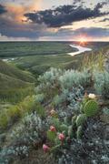 Prickly Pear and Ball Cactus along the canyon rim of the South Saskatchewan Stock Photos