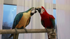 Two colorful macaw parrots communicating with each other in a room Stock Footage