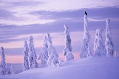 Raven on snow covered tree, Mount Seymour Provincial Park, North Vancouver, Stock Photos