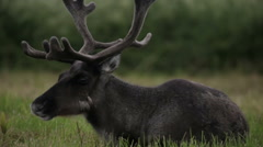 Reindeer eating grass in the field Stock Footage