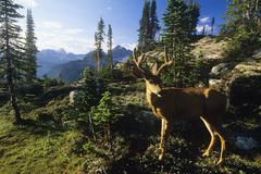 Wildlife of the Valhalla Range, Mule deer, Kootenays, Selkirk Mountains, Stock Photos