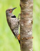 Northern Flicker (Colaptes auratus), Canada. Stock Photos