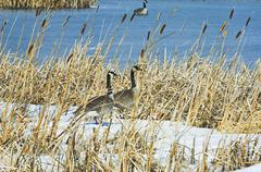 Canada Geese (Branta canadensis) pair. These Geese often form long-term bonds. Stock Photos