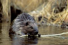 Adult American beaver (Castor canadensis) eating the bark from an aspen branch, Stock Photos