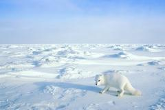Arctic fox (Alopex lagopus) searching for prey or carrion on the sea ice, Arctic Kuvituskuvat