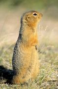 Arctic ground squirrel (Spermophilus parryii), Barrenlands, Nunavut, Arctic Stock Photos
