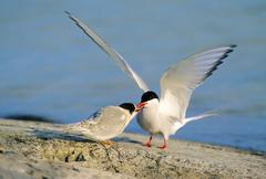 Adult arctic tern (Sterna paradisea) feeding a fish to its newly fledged young, Stock Photos