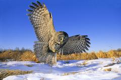 Great gray owl (Strix nebulosa) swooping down on prey hidden under the snow, Stock Photos