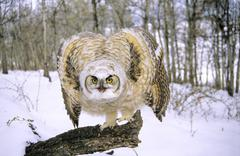 Threat display by a fledgling great horned owl (Bubo virginianus), southern Stock Photos