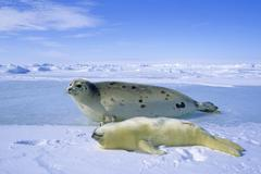 Mother harp seal (Phoca groenlandica) and pup (yellowcoat), Gulf of the St. Stock Photos