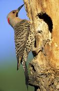 Male northern flicker (Colaptes auratus), yellow-shafted race, at the mouth of Stock Photos