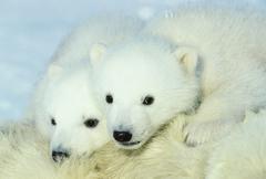 Three-month old polar bear cubs (Ursus maritimus) resting on their mother, Kuvituskuvat
