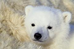 Three-month old polar bear cub (Ursus maritimus) resting on its mother, Arctic Kuvituskuvat