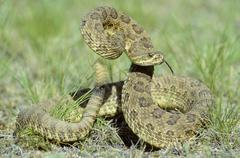Prairie rattlesnake (Crotalus viridis) in defensive strike posture, prairie Stock Photos