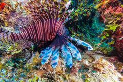 Lionfish (Pterois) near coral,s Cayo Largo, Cuba Stock Photos