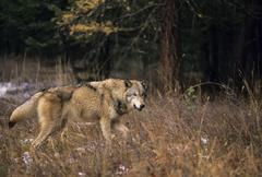 Wolf (Canis lupus) Alberta, Canada. Kuvituskuvat