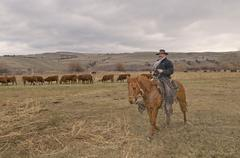 A cowboy and his horse 'Shorty' check the herd for impending births during the Stock Photos