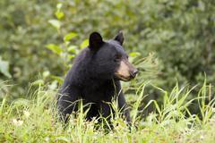 Black bear (ursus americanus) eating grass near town of Stewart in northern Stock Photos