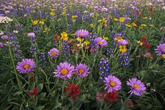 Wildflowers, Trophy Meadows, Wells Gray Provincial Park, British Columbia, Stock Photos