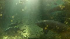 Sturgeon Swimming Stock Footage