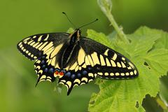 Anise swallowtail (Papilio zelicaon) on blackberry leaf in Mount Tolmie Park, Stock Photos