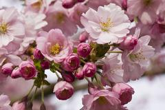 Close-up of flowers on a cherry blossom (Sakura) tree in Vancouver, British Stock Photos
