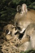 Female Cougar (Puma concolor) grooms 5-week-old kitten, Montana, USA Stock Photos