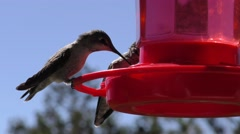 Humming birds share sugar water from feeder Stock Footage
