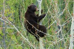 Chocolate-coloured American black bear (Ursus americanus) feeding on aspen Stock Photos